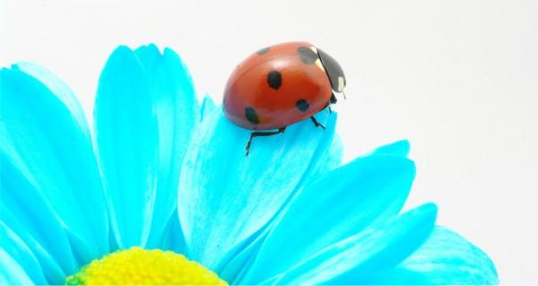 Marienkäfer auf blauem Blatt