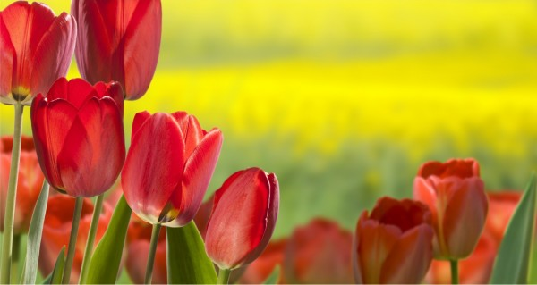 rote Tulpenwiese