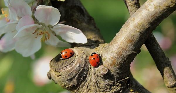 Zwei Marienkäfer auf Baum