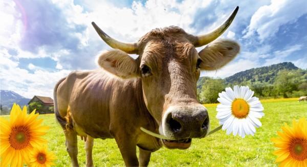 Kuh mit Margerieten