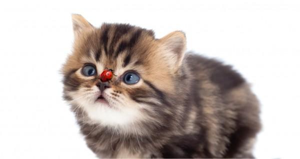 Katze mit Marienkäfer auf der Nase