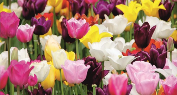 Tulpen diverse Farben