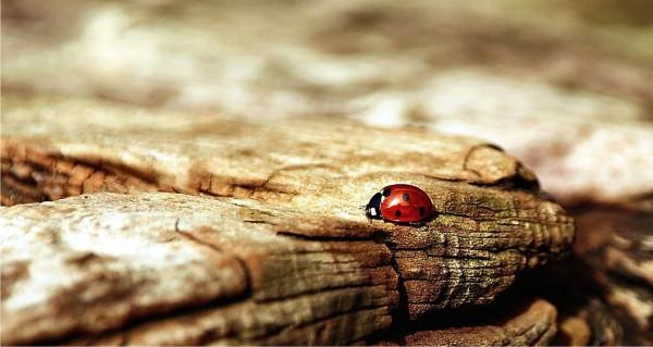 Ein Marienkäfer auf Baumrinde