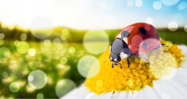 Marienkäfer am Blume