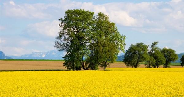 gelbe Wiese mit Berge im Hintergrund